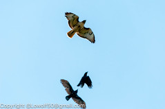 RedTailHawk battle 3_DSC5601.jpg (orig_lowolf) Tags: usa home oregon nikon flickr flight crow attacking redtailedhawk lakeoswego d300s sigma150500mmf563afapodgoshsmtelephotozoom