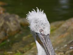 P1010406 (lychee_vanilla) Tags: bird animal zoo pelikan mnster vogel pelecanus zoomnster