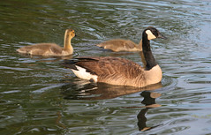 Canada geese in Staten Island, New York, USA. May, 2016 (Tom Turner - SeaTeamImages / AirTeamImages) Tags: nyc usa newyork reflection nature water geese pond unitedstates wildlife birding spot goose statenisland winged bigapple birdwatching spotting canadagoose canadageese feathered tomturner