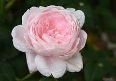 """Weekend Rose  """"Queen of Sweden"""" (Eleanor (No multiple invites please)) Tags: uk rose ngc pinkrose bushey queenofsweden 105mmmacrolens busheyrosegarden nikond7200"""