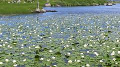 Lochan Lilies (johnethurgood) Tags: lochan lilies landscape big scotland