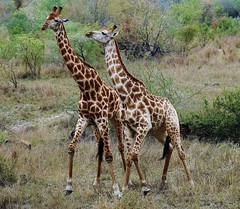 International Giraffe Day, June 21st (Susan Roehl) Tags: southafrica2015 malamalagamereserve giraffe conservation sparring necking fighting righttobreed sueroehl panasonic lumixdmcgh4 internationalgiraffeday ngc npc