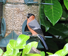 Looking like a proud dad ! (Blossom's Mom.(Sheila Hess)) Tags: male bird june garden finch bullfinch 2016