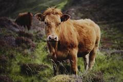 Mountain cow (almabernhardsson) Tags: travel summer skye art nature rain 35mm canon eos scotland hiking sigma 7d isle quiraing