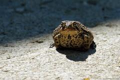 TOAD (Imagination04) Tags: ed illinois pentax il f45 300mm f toad if smc arrowhead smcpentaxf300mmf45edif