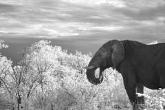 Outside (zenseas : )) Tags: morning wild vacation blackandwhite bw holiday elephant male ir early driving bull safari infrared etosha roadway loxodonta loxodontaafricana selfdrive halali etoshanationalpark musth intheroad selfdrivesafari outsidemytruck