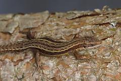 Lizard (inga_art) Tags: nature sunshine dragon reptile wildlife olympus latvia lizard april 2012 latvija coth supershot specanimal fantasticnature naturallywonderful ingaart sunrays5