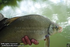 Bream - Abramis brama (puffinbytes) Tags: greatbritain england animals unitedkingdom carps bream essex animalia minnows cyprinidae cypriniformes chordates chordata actinopterygii rayfinnedfishes abramis abramisbrama taxonomy:kingdom=animalia taxonomy:phylum=chordata taxonomy:class=actinopterygii taxonomy:family=cyprinidae taxonomy:order=cypriniformes leuciscinae spb:lid=00an spb:country=uk spb:id=01f5 spb:species=abramisbrama spb:pty=f taxonomy:subfamily=leuciscinae taxonomy:genus=abramis taxonomy:species=brama taxonomy:binomial=abramisbrama taxonomy:common=bream spb:pid=0kd8