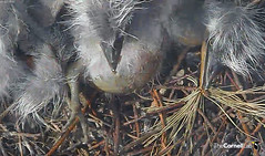 Little chick, plump tummy. See his tiny feet? (y.mclean) Tags: heron nest cornell ornithology greatblueheron sapsuckerwoods cornelllabofornithology