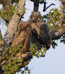 Baby Owls (lanaganpm) Tags: birds greathornedowl
