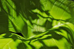 Light dancing (Deb Jones1) Tags: park light macro green nature beauty leaves canon garden botanical outdoors leaf flora shadows flickrduel debjones1