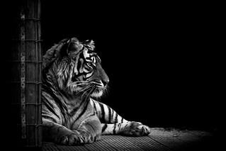 Tiger - Thrigby Hall Wildlife Gardens