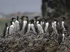 "Common Murres • <a style=""font-size:0.8em;"" href=""http://www.flickr.com/photos/76145908@N08/7085060333/"" target=""_blank"">View on Flickr</a>"