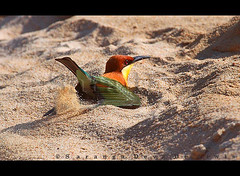 Digging (Sara-D) Tags: birds forest nationalpark asia digging wildlife aves sl sri lanka jungle chestnut srilanka ceylon lk headed leschenaultia yala beeeater southasia sarad merops meropidae chestnutheadedbeeeater meropsleschenaulti yalanationalpark asianwildlife saranga meropsleschenaultileschenaulti dryzone birdsofsrilanka sarangadevadealwis birdsofsouthasia meropsleschenaultia sarangadeva