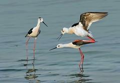 Awkward presence (AnayTarnekar) Tags: india lake water birds canon mating anay pashan pune stilts blackneckedstilts tarnekar matingstilts