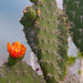 "Flor de Cactus • <a style=""font-size:0.8em;"" href=""https://www.flickr.com/photos/18785454@N00/7445616532/"" target=""_blank"">View on Flickr</a>"