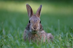 """Some Bunny Loves You (flipkeat) Tags: cute rabbit bunny nature animal animals closeup mammal different looking wildlife sony awesome explore straight mississauga eastern iso1600 bugsy cottontail sylvilagus floridanus dslra500 """"photoofthedaynwf12"""""""
