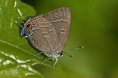 Banded Hairstreak 1 (violetflm) Tags: june butterfly insect parkinglot native il northbrook hairstreak spg satyriumcalanus bandedhairstreak d300s 45orless d3u4483