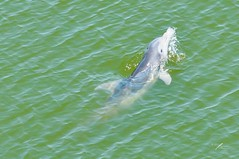 Calf (Glory Daze) Tags: animals flickr dolphin dolphins calf bottlenosedolphin