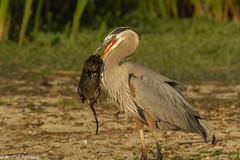 Big Catch - Great blue Heron and Muskrat (IMG_0502) (arvind agrawal) Tags: ca fremont greatblueheron muskrat coyotehills