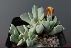 Schwantesia Borcherdsi (f3) Ma2