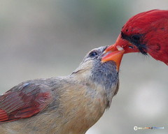 _Kissing Cardinals 1002.pef (Norm Townsend) Tags: bird oklahoma nature birds backyard feeding pentax bigma wildlife gimp sigma peaches tulsa animalplanet k5 cardinaliscardinalis pauley northerncardinal ufraw gimpusers greencountry gmic creekcounty normtownsend sigmaapo50500f463