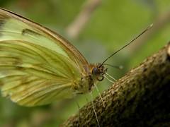 Butterfly (Ricardo Venerando) Tags: life park macro green brasil garden insect natureza olympus bugs explore abc discovery soe naturesfinest conservacion platinumphoto abcpaulista diamondclassphotographer ysplix grandeabc goldstaraward ricardovenerando