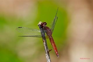 Red-Faced Dragonlet - Erythrodiplax fusca (Rambur, 1842)