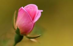 a young rose (hawaiiansupaman) Tags: flowers hawaii maui pinkflower pinkrose kula