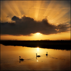 Golden Morning Rays (adrians_art) Tags: sky water birds clouds swimming sunrise reflections golden silhouettes rivers ripples rays muteswans