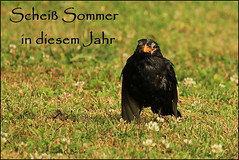 Das ist ja so frustrierend (Cornelia G.Becker (soulll59)) Tags: summer bird nature animal germany deutschland hessen sommer natur grn tier vogel rasen amsel bensheim bergstrase soulii59 soulll59 corneliagbecker