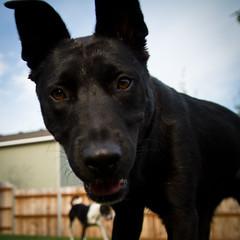 Gus_square_02 (L0bstrosity) Tags: rescue dog mutt sigma1750 sigma1750f28 canon7d