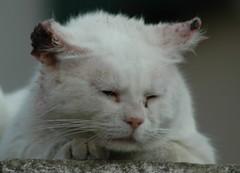 Un guerriero... (virgiliomulas.) Tags: gatto gatti guerriero griffis gatta centaurus conquistare virgiliocompany vg~catsgallery padredeiquattrogattinidigriffis
