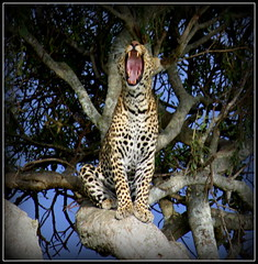 Mirad a ver si tengo alguna caries.... (Marcosfd80) Tags: africa leopardo ngc animales kenia animalplanet safary elefantes flickrbigcats highqualityanimals