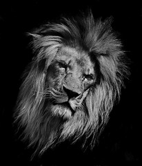 Lion at the WHF (Lindi m) Tags: bigcats thegalaxy whf ringexcellence blinkagain dblringexcellence tplringexcellence blinkagainfrontpage bestofblinkwinners eltringexcellence highqualityanimals
