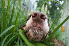 grass addiction (the measure of mike) Tags: china city dog green nature beauty grass cool play centralpark cbd concept activity coincidence enjoyment muzzle nostrils surprising dreyfuss ingredient mouthwatering beliefs englishspringerspaniel undescribable dogjoy tastesgreat urbanexperience chaoyangdistrict fetishobject flickraward goldstaraward pzoopzaa everydayexperience emotionalhumanfactors