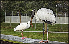 Big Brother is Watching (Chris C. Crowley) Tags: birds animals ibis unusual stork whiteibis waterbirds woodstork wadingbirds bigbrotheriswatching chriscrowley reedcanalpark celticsong22 southdaytonaflorida
