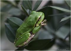 Hyla arborea 2406 Fa (Linnaeus, 1758). Obična gatalinka. Tree frog on Ruscus aculeatus. http://www.wildcroatia.net/galerije/vodozemci/obicna-gatalinka-hyla-arborea-tree-frog (Morton1905) Tags: tree frog arborea hyla gatalinka mothernaturesbest macrodreams ludine obična