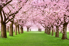 gorgeous cherry trees In full blossom (American Lifestyle) Tags: park pink flower tree green nature beautiful beauty grass rose japan fog garden season cherry landscape botanical japanese spring alley flora scenery paradise arch bright awakening blossom outdoor path background seasonal lawn scenic may meadow culture tranquility row full bloom april romantic sakura crown blossoming canopy relaxation avenue idyllic springtime blown