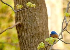 Bluebird (tommaync) Tags: blue brown tree green bird nature oneaday leaves animal nc nikon wildlife northcarolina photoaday april bluebird pictureaday 2014 chathamcounty d40 project365 project365095 project365040614