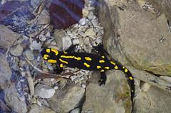 Feuersalamander Unterwasser (Aah-Yeah) Tags: bayern underwater salamander salamandra unterwasser achental chiemgau caudata firesalamander feuersalamander schwanzlurch