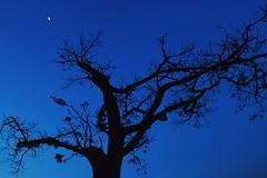 Blue night (mara.arantes) Tags: blue sky naturaleza moon plant tree nature night digital nikon flickr angle
