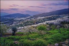 Cerezos (antoniocamero21) Tags: color foto sony valle cceres jerte extremadura cerezos
