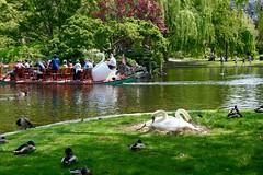 Nesting Swans and Swan Boat at Boston Public Garden ((Jessica)) Tags: park green boston spring swan nest massachusetts newengland swans swanboat publicgarden swanpair nestingswans swancouple