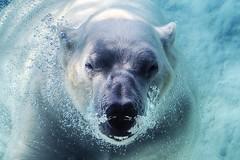 tiny bubbles (ucumari photography) Tags: bear blue water animal mammal zoo oso nc north bubbles polarbear carolina nikita eisbr ursusmaritimus oursblanc osopolar ourspolaire orsopolare specanimal ucumariphotography sbjrn dsc9981