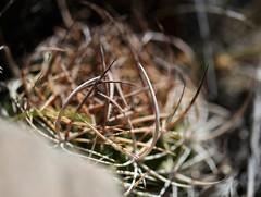 Neoporteria curvispina (Umadeave) Tags: chile cactus montagne plante flora chili desert flore eriosyce curvispina neoporteria