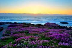 Seacoast Flowers At Sunset (ExtraClass) Tags: ocean flowers seascape pacific trail yachats seacoast