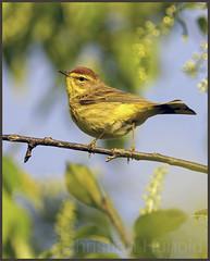 palm warbler (Christian Hunold) Tags: bird philadelphia warbler songbird johnheinznwr woodwarbler palmwarbler palmenwaldsnger christianhunold