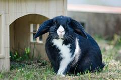 Pupe #2 (iina.makkonen) Tags: pet rabbit bunny animal finland outdoors nikon nikkor nikond7000
