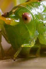 little grasshopper (Renato Noffke) Tags: macro germany deutschland pentax outdoor wildlife 28mm hamburg retro grasshopper makro insekt orthoptera alemanha tier renato macrophotography bellow macrofotografa grashpfer gomphocerinae makrofotografie stenobothrus balgengert noffke stigmaticus stenobothrusstigmaticus